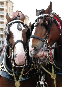 Clydesdale duo